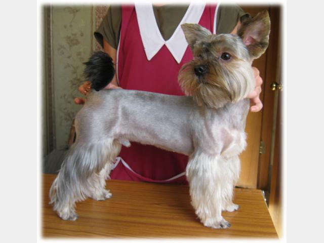Предлагаю услуги: Стрижка собак с выездом на дом Москва фото3