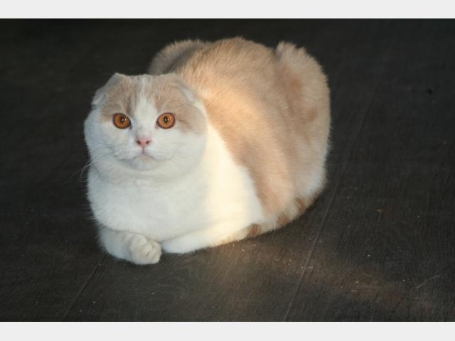 Продаю: Шотландский вислоухий котенок-девочка шоу класса