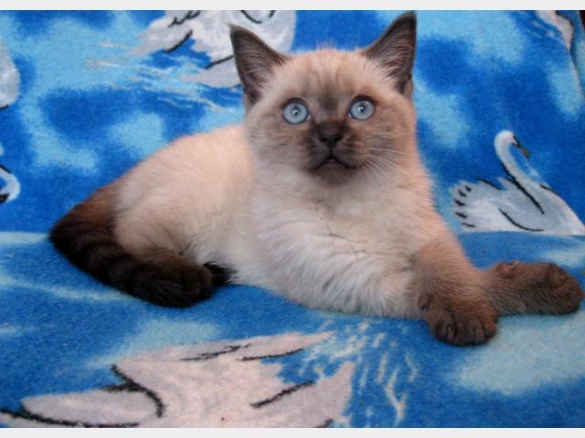 Продаю: Британский котенок редкого и красивого окраса