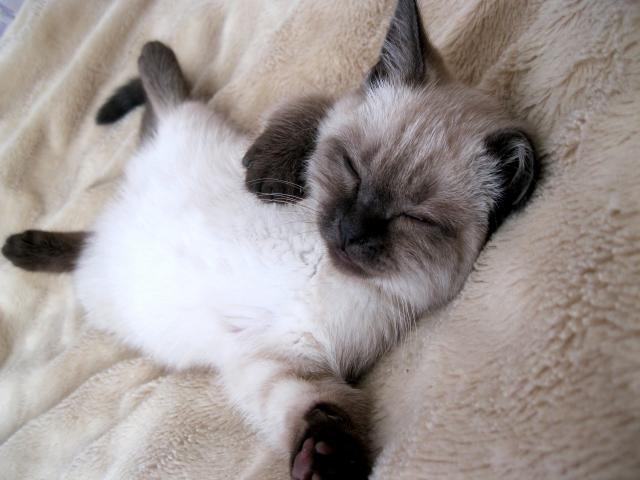 Продаю: Британский котенок редкого и красивого окраса фото2