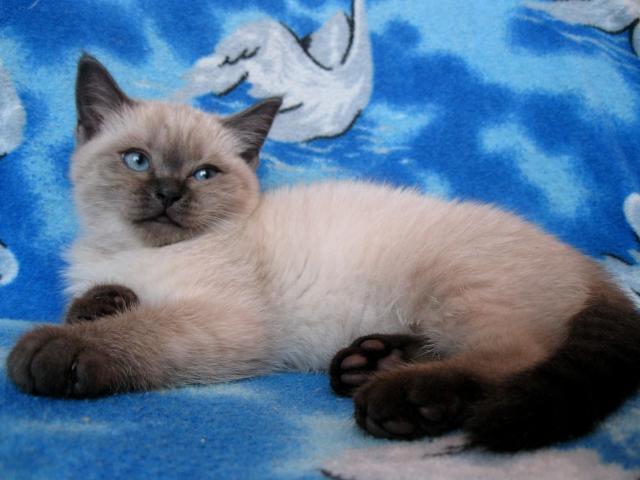 Продаю: Британский котенок редкого и красивого окраса фото3