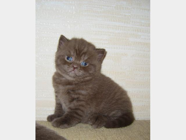 Продаю: Британские котята Шоколадного окраса