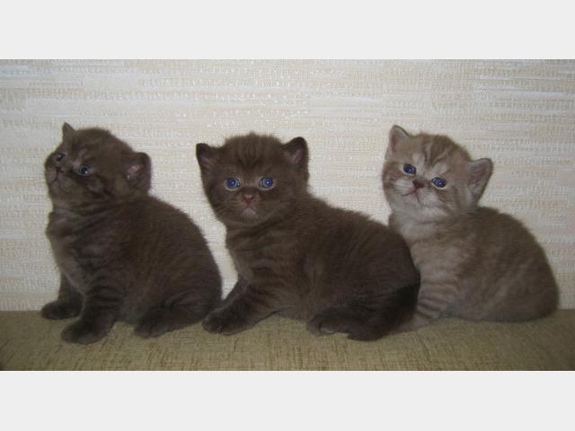 Продаю: Британские котята Шоколадного окраса  фото2