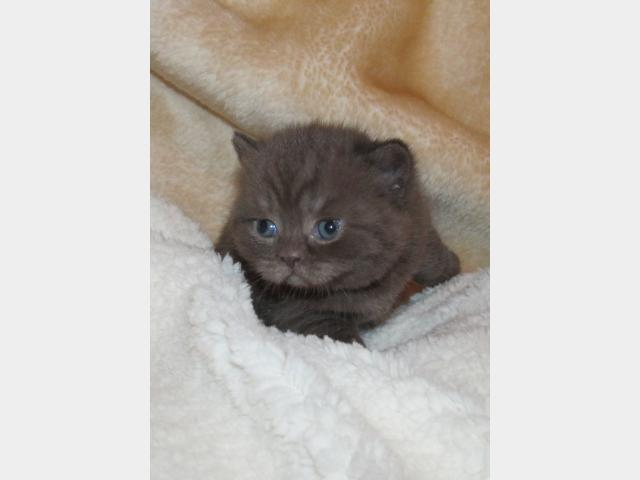 Продаю: Британские котята Шоколадного окраса  фото3
