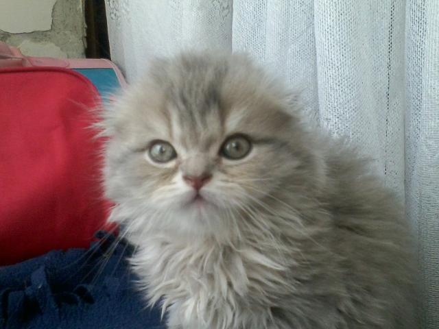 Продаю: Длиношёрстный вислоухий котик