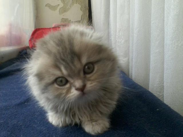 Продаю: Длиношёрстный вислоухий котик фото2