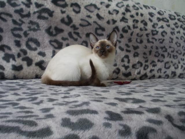 Продаю:  сиамскую кошечку фото2