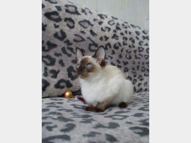 Продаю:  сиамскую кошечку фото3