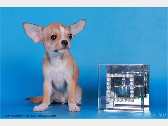 Продаю: Чихуахуа, Очень красивые малыши фото3