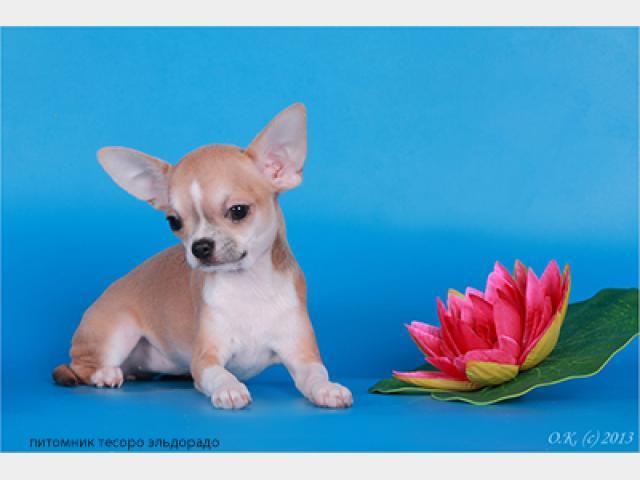 Продаю: Чихуахуа, Очень красивые малыши фото2