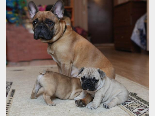 Продаю: Клубные щенки французского бульдога