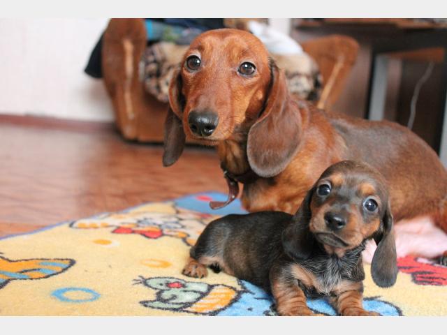 Куплю:  недорого щенков миниатюрной таксы