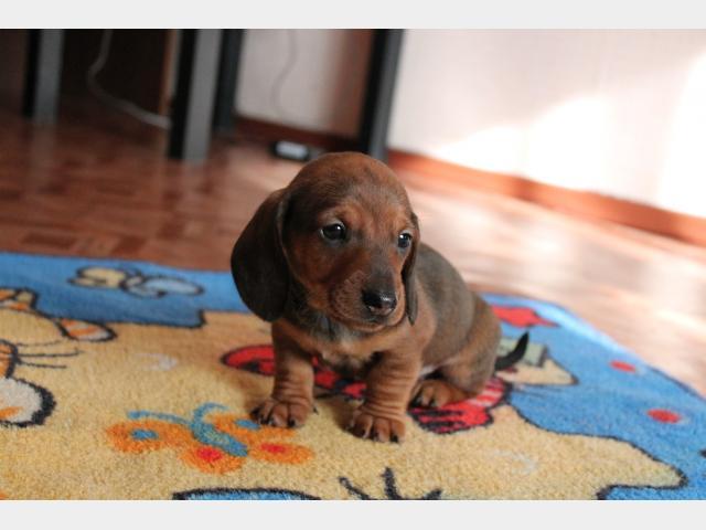 Куплю:  недорого щенков миниатюрной таксы фото2