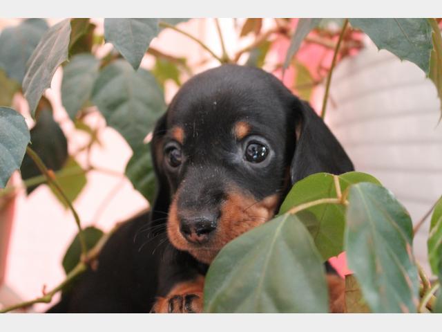 Куплю:  недорого щенков миниатюрной таксы фото3