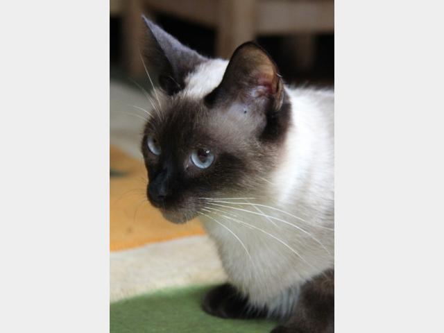 Продаю: Сиамские котятки