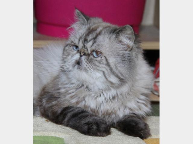 Продаю: Сиамские котятки фото2