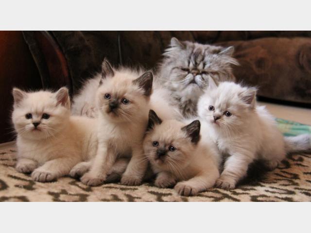 Продаю: Сиамские котятки фото3