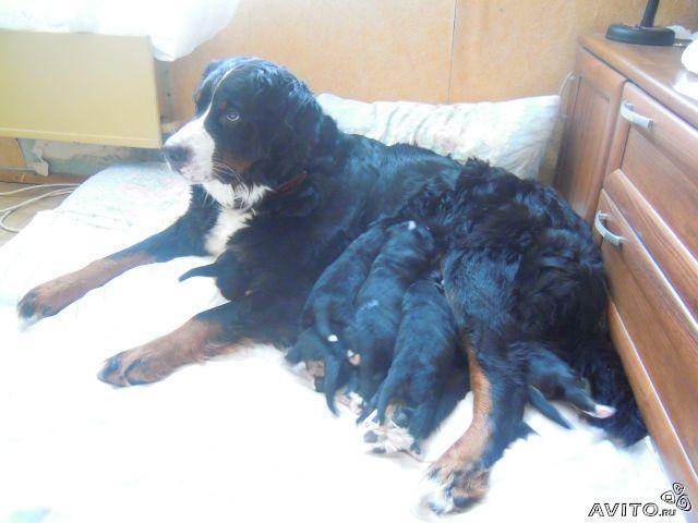 Продаю:  щенков Бернского зенненхунда фото2