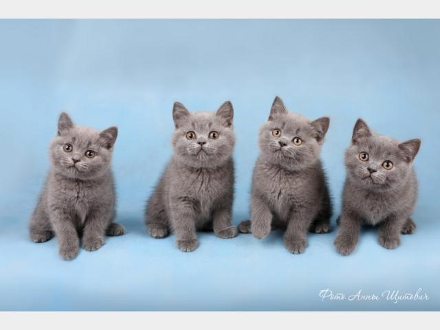 Продаю: тся котята британские фото2