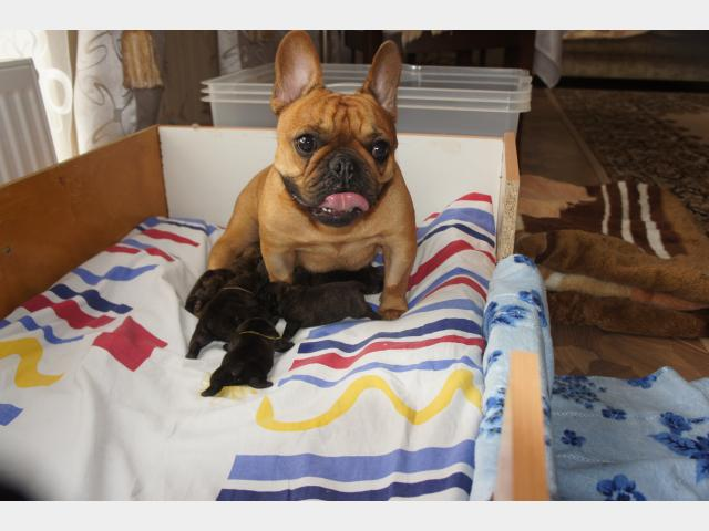 Продаю:  щенков французского бульдога  фото2