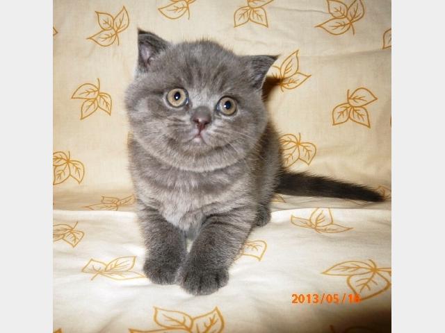 Продаю: Шотландские плюшевые голубые котята