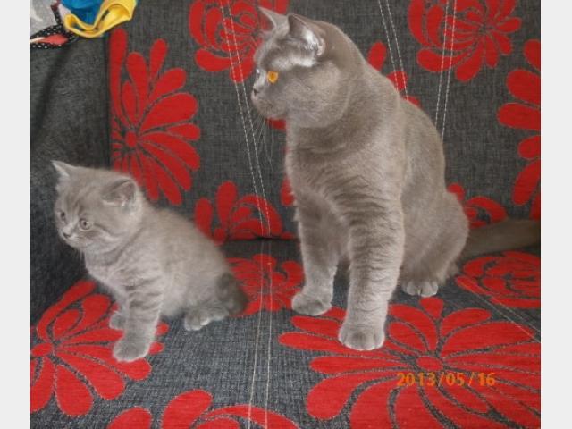 Продаю: Шотландские плюшевые голубые котята фото2