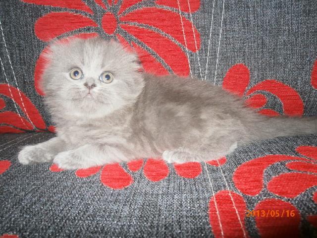 Продаю: Шотландские плюшевые голубые котята фото3