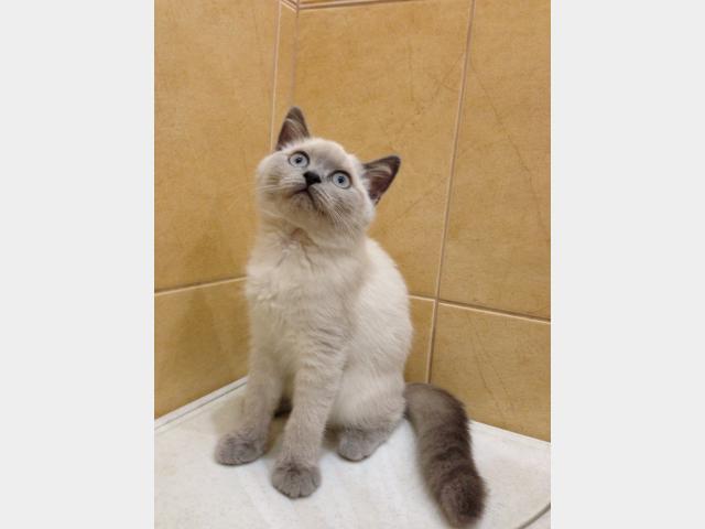 Продаю: Британские котята