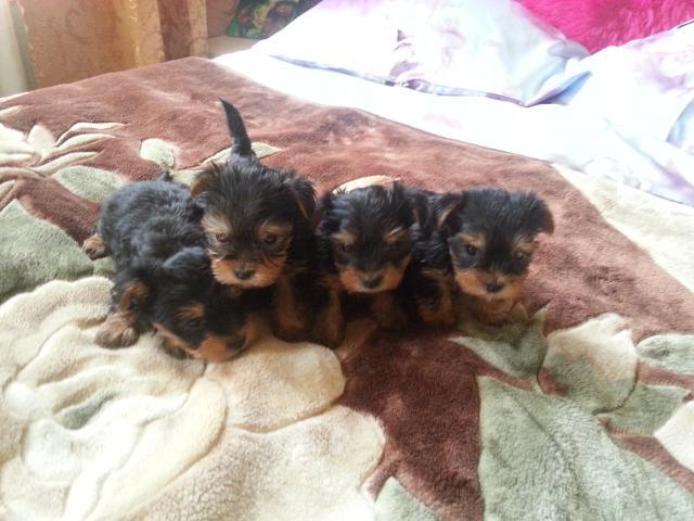 Продаю: продаются щенки йоркширского терьера