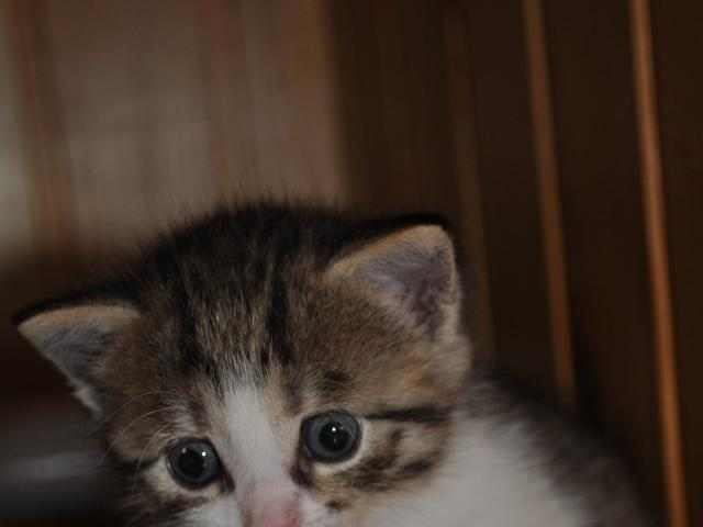 Отдам в дар: Отдадим в хорошие руки хорошего котенка (1 мес) фото2