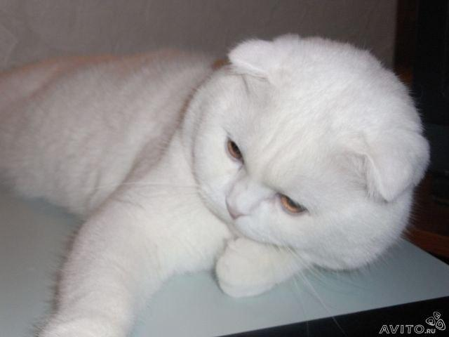 Продаю: Британские плюшевые котята фото2
