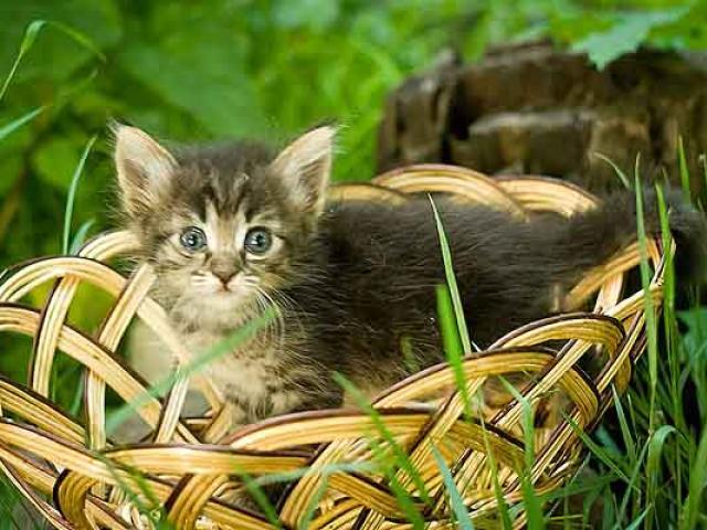 Отдам в дар: Котята в дар от кошки крысоловки