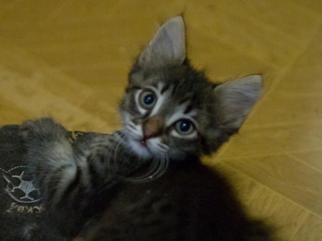 Отдам в дар: Котята в дар от кошки крысоловки фото2