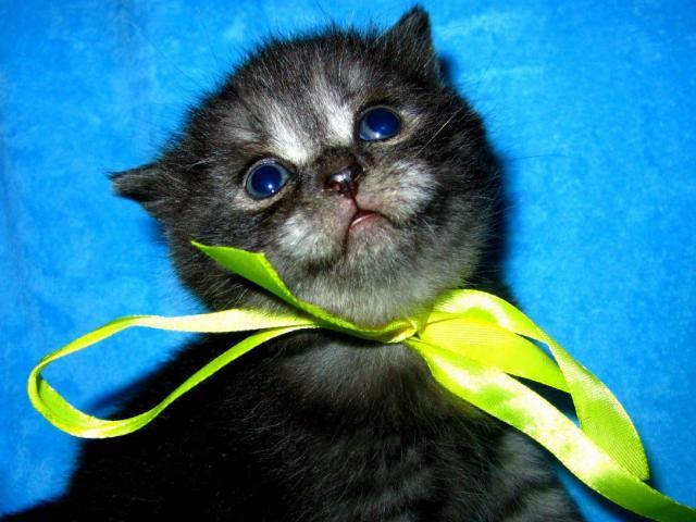 Продаю: продаются британские котята