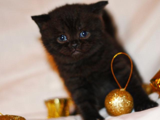 Продаю: продаются британские котята фото2
