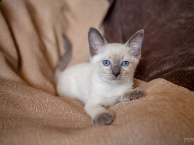 Продаю: Продаем сиамо-тайских котят