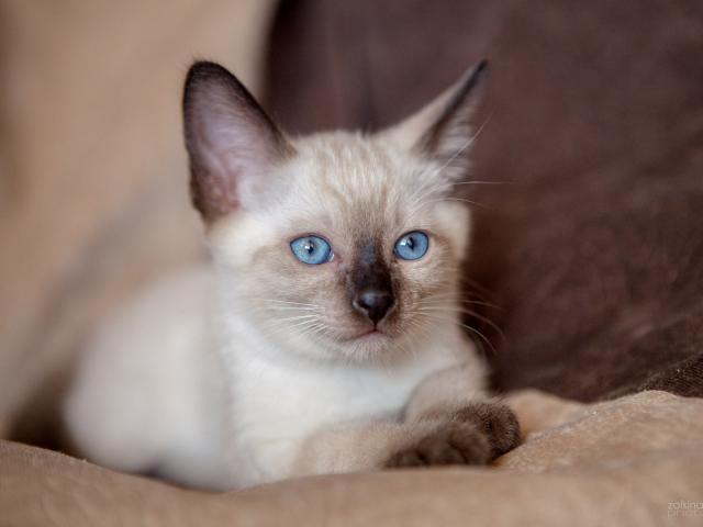 Продаю: Продаем сиамо-тайских котят фото2