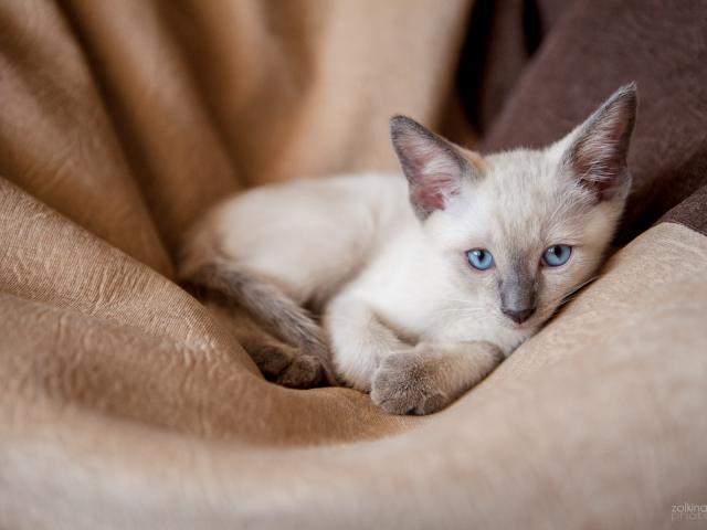 Продаю: Продаем сиамо-тайских котят фото3