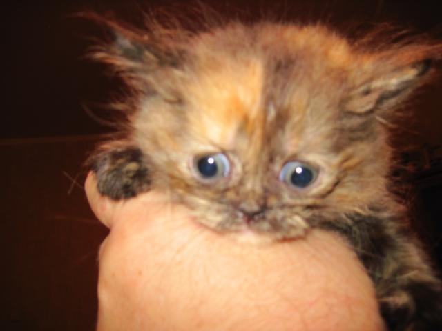 Продаю: Шотландские вислоухие котята фото2
