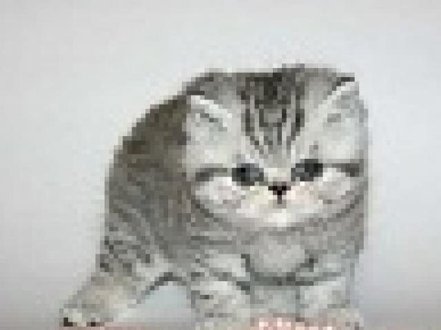 Продаю: тся красивые котята Экзоты
