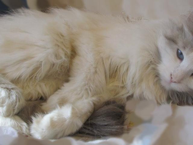 Отдам в дар: Хлоя - молодая кошка необычайной красоты