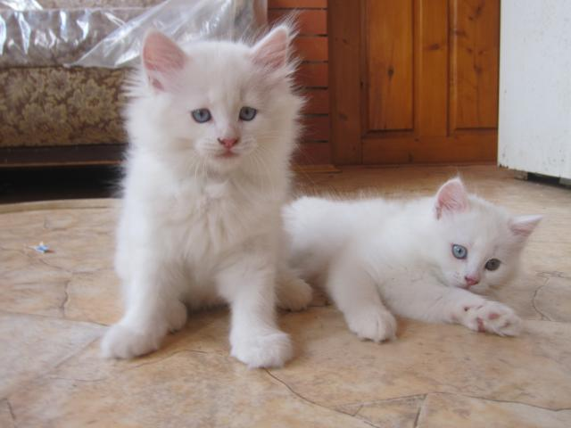 Продаю: Ангорские котята