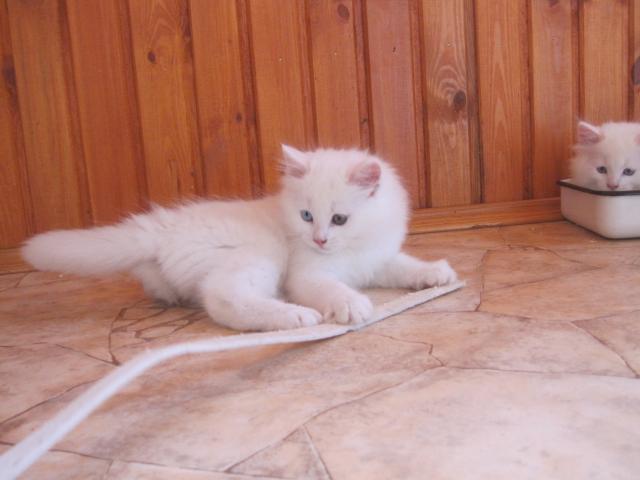 Продаю: Ангорские котята фото2