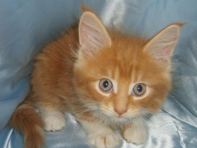 Продаю: Котята Мейн-Кун фото3