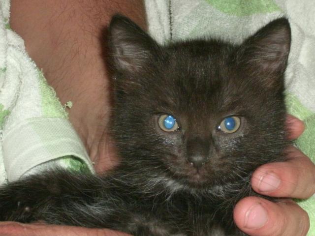 Отдам в дар: Воспитанные котята в хорошие руки фото2