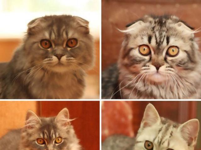 Продаю: Вислоухие котята для любителей шотландских кошек