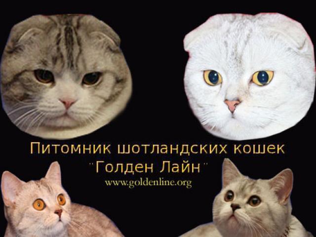 Продаю: Вислоухие котята для любителей шотландских кошек фото2