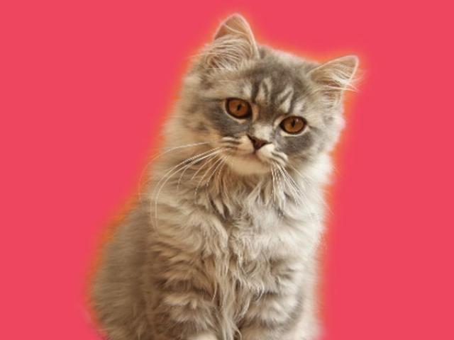 Продаю: Вислоухие котята для любителей шотландских кошек фото3