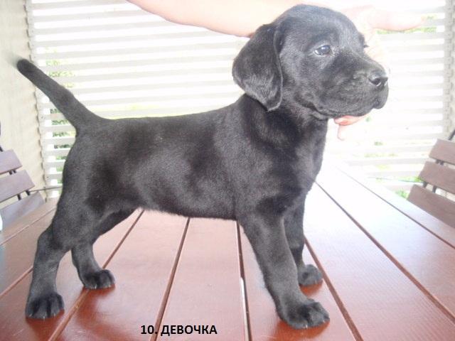 Продаю: Замечательные щенки лабрадора- ретривера фото3