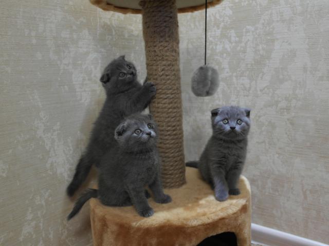 Продаю: Котята породы шотландская вислоухая